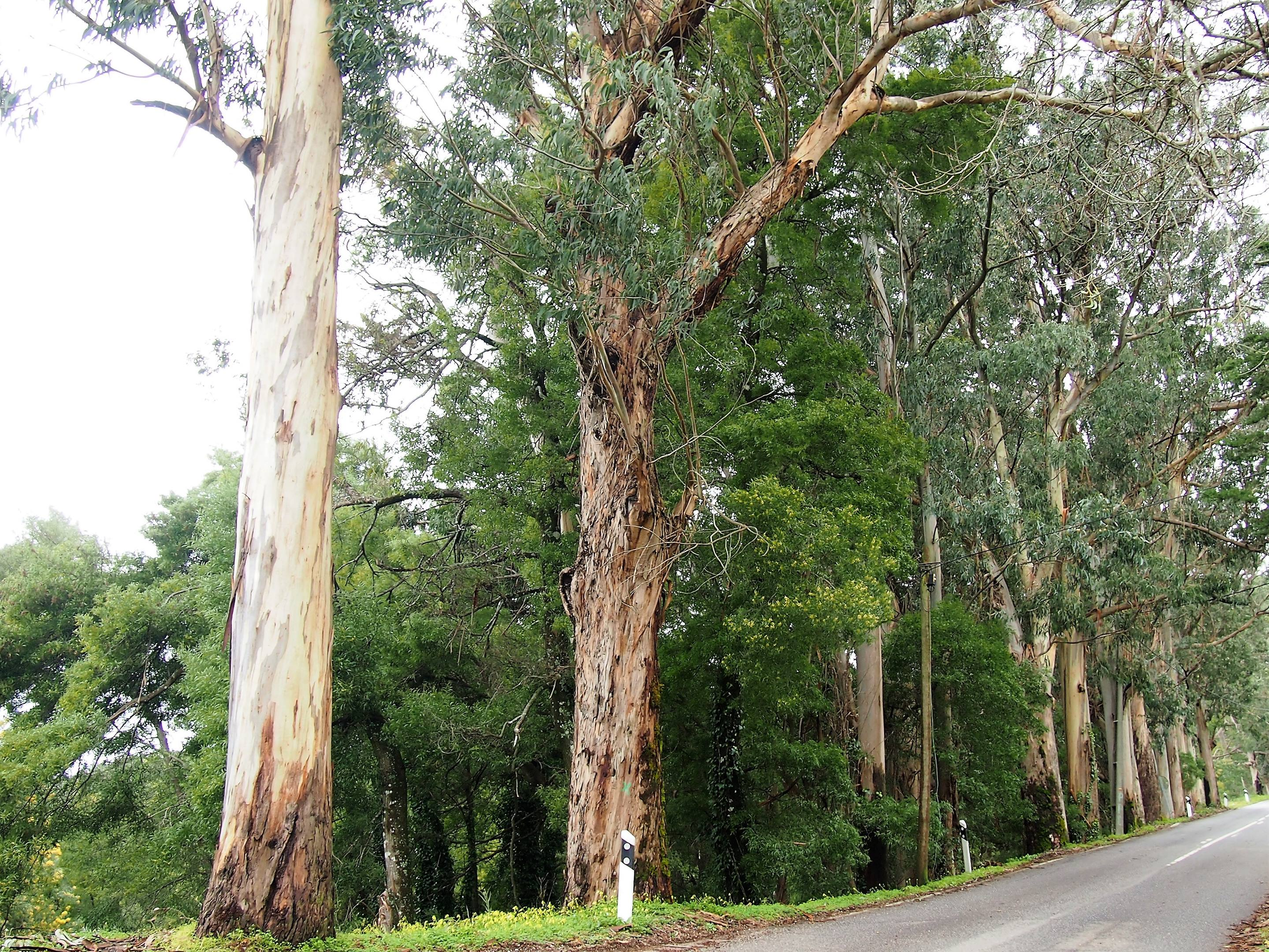 Eucalyptus trees are everywhere - on the road from Monchique to Fóia.