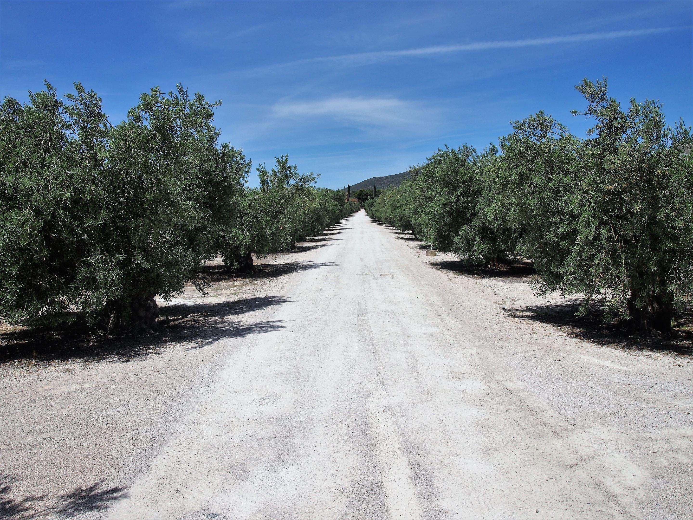 Hileras de olivos en la Finca Monterosa de Aceite de Oliva, Moncarapacho